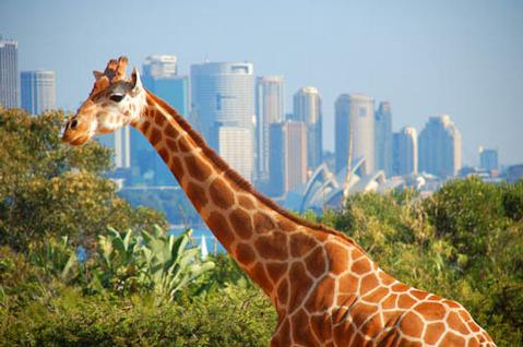 Giraffe Dies On Zookeeper Movie Set