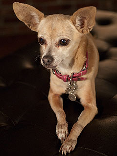 Gidget, the Taco Bell Chihuahua